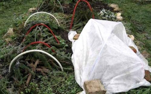 Как сохранить хризантемы зимой в сибири. Как сохранить хризантемы в разных климатических поясах