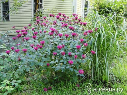 Садовый бергамот цитрусовый аромат. Бергамот садовый – Монарда