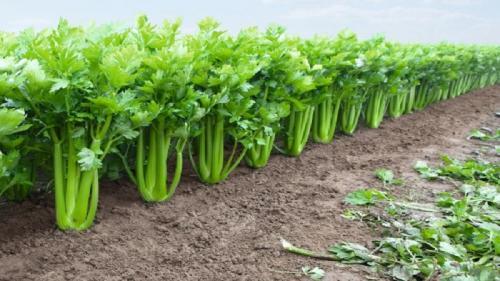 Черешковый сельдерей. Как вырастить и использовать черешковый сельдерей с максимальной пользой для организма