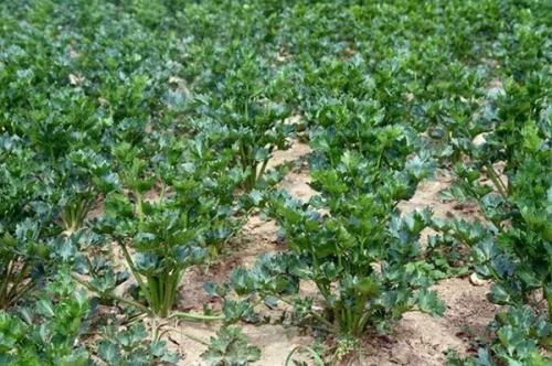 Что делать с корневым сельдереем осенью. Особенности агротехники культуры