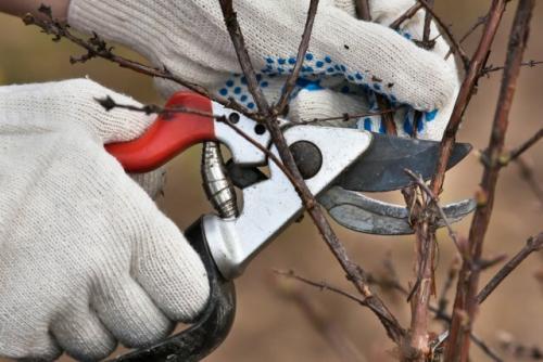 Набухли почки на смородине осенью. Как обрезать смородину весной?