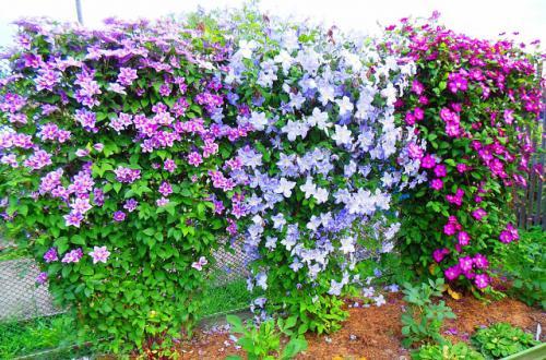 Что любит клематис. Роскошный элемент вашего сада. Клематисы — все секреты успешного выращивания