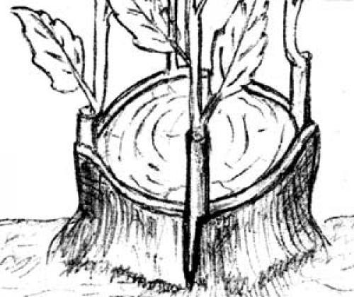 Яблоня из пня. Делаем из пня дерево