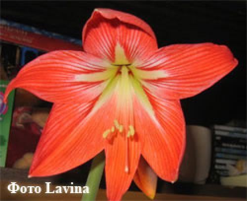 Гиппеаструм когда цветет после посадки. Стадии развития
