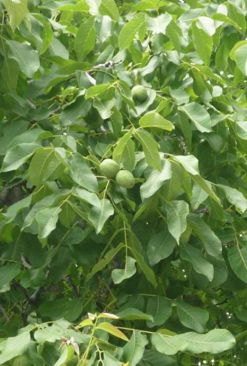 Что делать с листьями грецкого ореха осенью. Можно ли листьями грецкого ореха удобрять огород ...