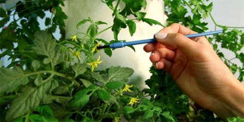 Нужно ли опылять помидоры. Как опылять помидоры на балконе