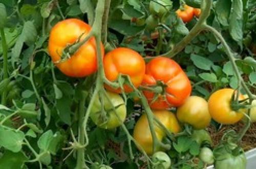Когда убирать помидоры в открытом грунте на урале. Особенности уральских томатов в открытом грунте.