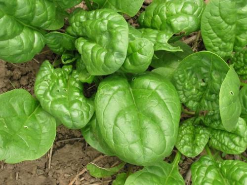 Почему быстро зацветает шпинат. Шпинат: выращивание и полезные свойства