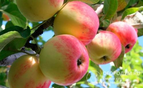 Ранние сорта яблонь. Летние сорта яблок