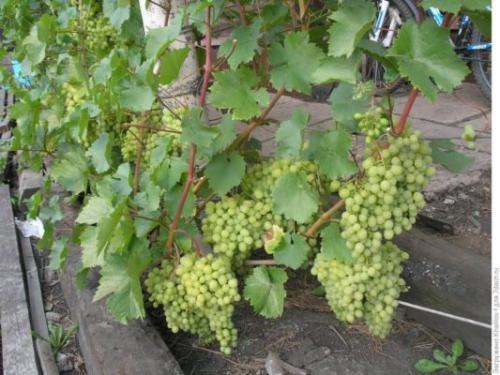 Виноград столовый сорта с высоким содержанием сахара. Ранние сорта