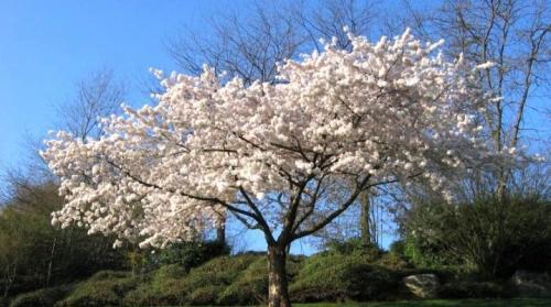 Какая бывает вишня. Какой бывает вишня и как ее выращивать?