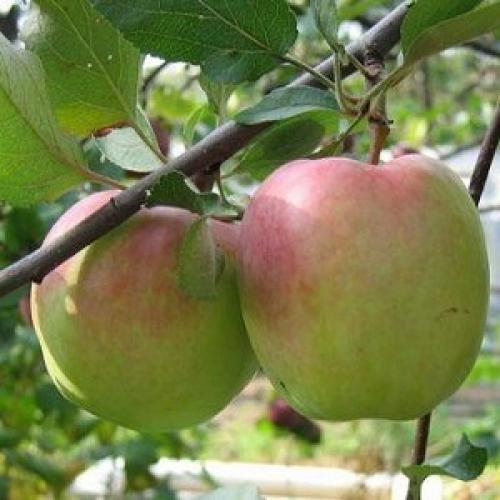 Лучшие сорта зимних яблок. Популярные зимние сорта яблонь