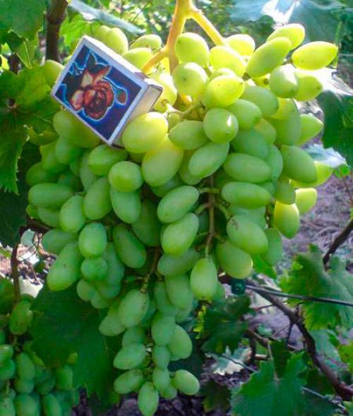 Виноград найден описание сорта. Виноград розовый сорта